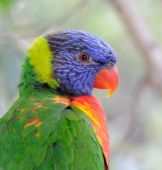 Profile of colorful lorikeet (parrot) with blurred background poster