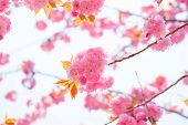 Blooming double cherry blossom branches and sky background