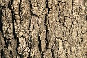 Old oak tree bark for natural textured background poster
