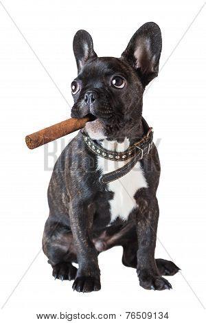 Dog French Bulldog Sitting With A Cigar