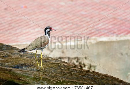 Red-wattled Lapwing Bird Sitting At The Water Edge