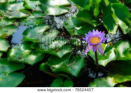 Blooming Water-lily Flowers In A Pond