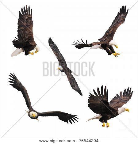 Bald Eagles.