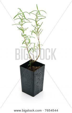 Rosemary Seedling Isolated