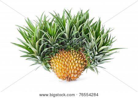Exotic Mutation Pineapple
