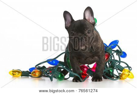 christmas puppy - french bulldog puppy tangled up in colorful christmas lights on white background