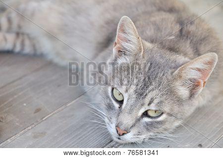 Gray Dozy Cat