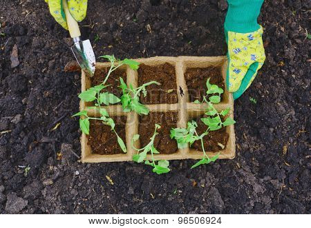 Female farmer with small gardening tool replanting sprouts
