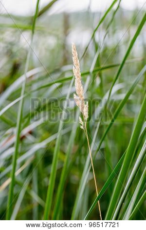 Poaceae And Reeds