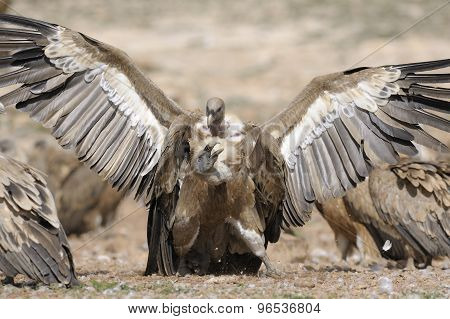 Two griffon vultures fighting on the ground poster