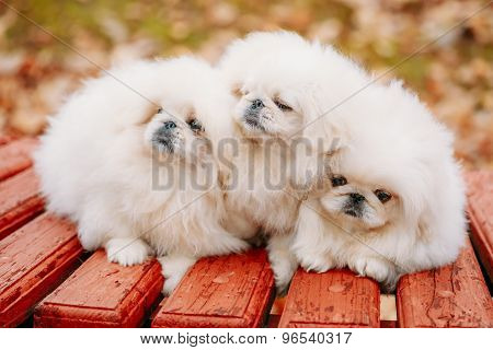 Three White Puppies Pekingese Pekinese Peke Whelps Puppy Dog