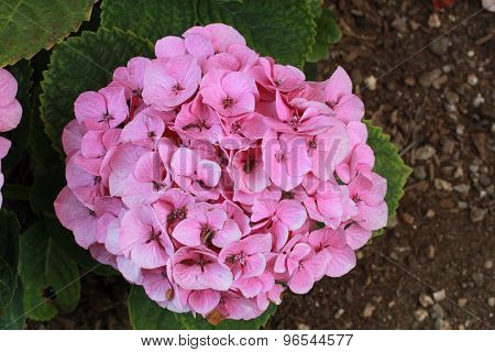 close view of pinkish hydrangea