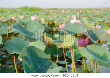 Calyx Of Lotus Seed In Nature.