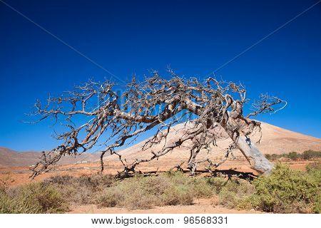 Fuerteventura Tetir area - dry dead fig tree shaped by trade wind cut down in 2014 poster