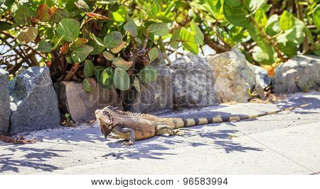 Green iguana on Virgin Gorda Island in BVI