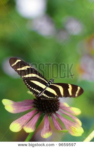 Black And Yellow Butterly.