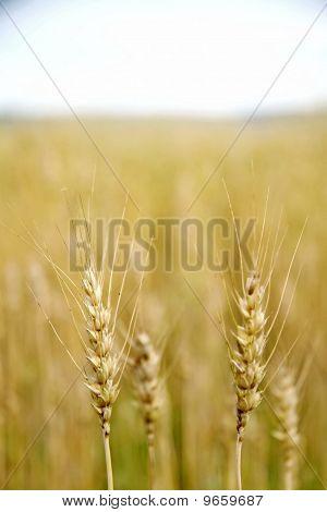 Wheat Close-up In A Field
