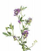 Alfalfa (medicago sativa or lucerne) isolated on white background poster