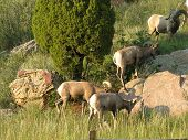 big horn sheep in the midwest united states. poster