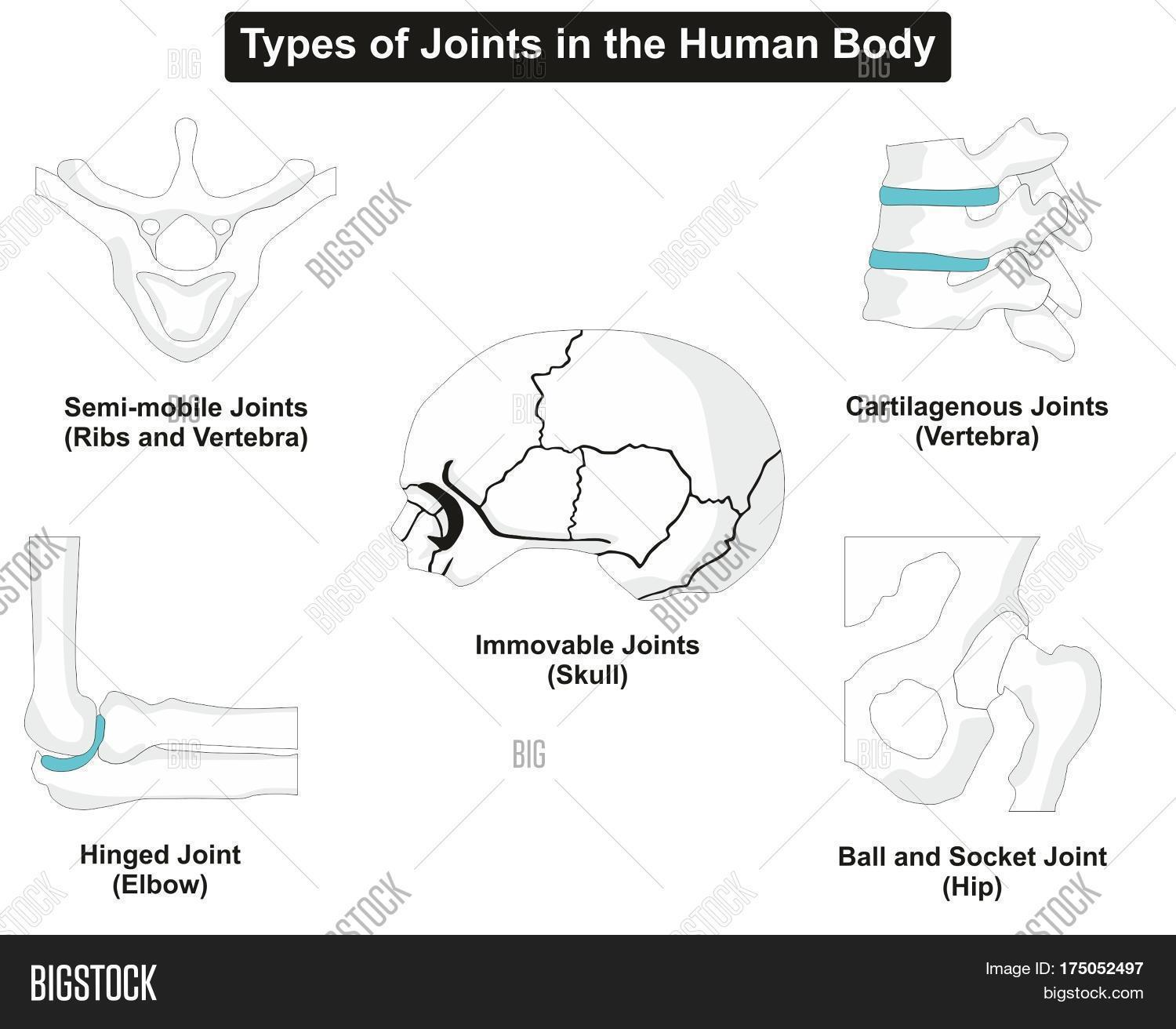 Types Human Body Image & Photo (Free Trial) | Bigstock