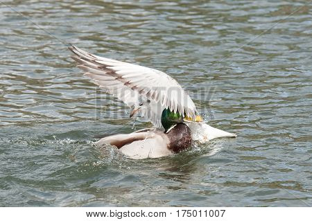 a seagull and a duck colliding on water