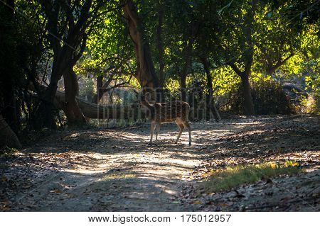 Deer in the jungle in the wild forest in the national Park of the Indian