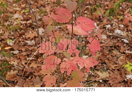 Pink Leaves on the Forest Floor in Black River State Forest in Wisconsin
