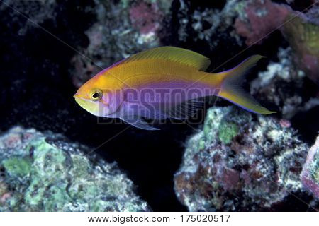 A rare Bartlett's Anthias, Pseudanthias bartlettorum on a coral reef at the Kwajalein Atoll in the Pacific