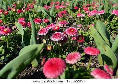 Pink English daisies in the spring garden