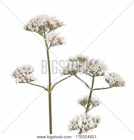 Valerian flower isolated on white background. Medicinal plant