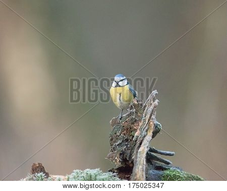 Eurasian Blue Tit Perched On Tree Trunk In Forest.