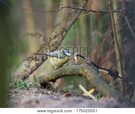Eurasian Blue Tit Perched On Branch In Forest.