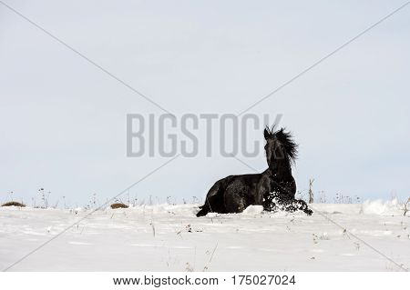 Caucasian Wild horses graze and frolic at the winter Caucasus mountain pasture against a blue sky and snow-covered meadows