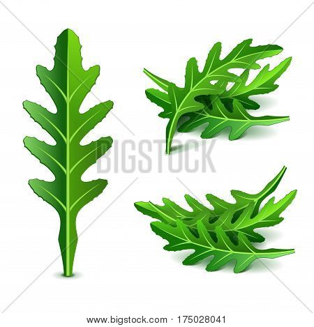 Fresh arugula set isolated photo-realistic vector illustration