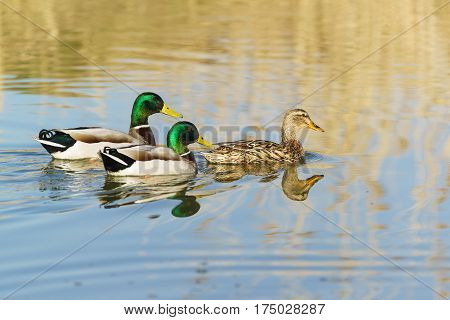Two Drake and a duck males and female mallards (lat. Anas platyrhynchos) birds of the duck family (Anatidae) detachment of waterfowl (Anseriformes) is floating on the water. The best known and most common wild duck