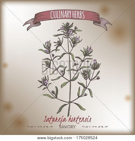 Satureja hortensis aka summer savory color vector hand drawn sketch. Culinary herbs collection. Great for cooking, medical, gardening design.