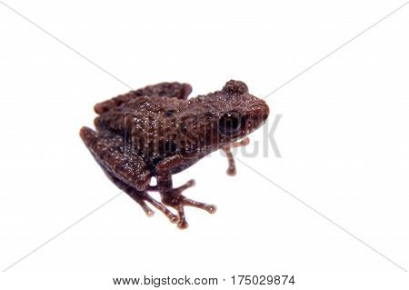 Small mossy frog, Theloderma lateriticum, rare spieces of frog, isolated on white background