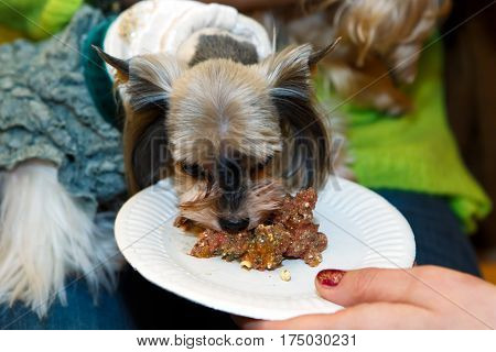 Feeding Little lapdog. Breed the Yorkshire terjer - food animals.