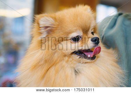 Portrait miniature lapdog Pomeranian solar color. The love of home decorative dog.