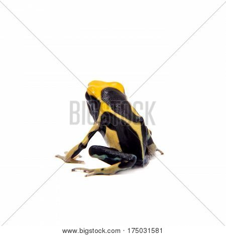 Regina Blue Dyeing Poison Dart Frogling, Dendrobates tinctorius, on white background.