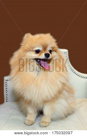 Toy Pomeranian lapdog is sitting and smiling on white chair. The love of home decorative dogs.