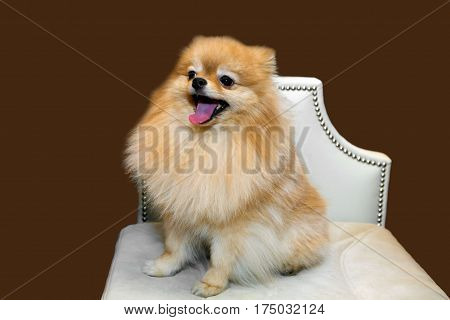 Toy Pomeranian lapdog is sitting and smiling on a white chair. The love of home decorative dogs.
