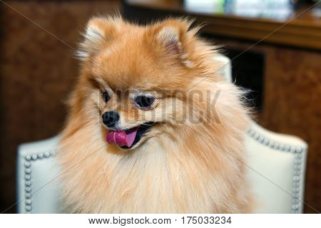 Pomeranian lapdog is sitting and smiling on a white chair. The love of home decorative dogs.