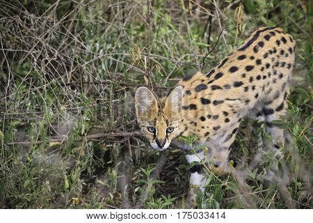 The serval cat hunts in the grassland marshes in Africa.