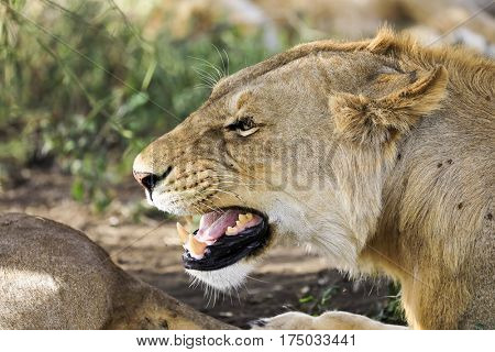 Profile of a growling lioness in Africa