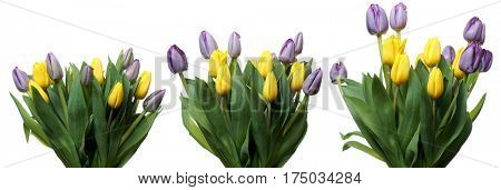 Time lapse series of purple and yellow tulip flowers blooming.