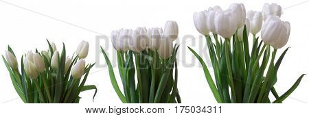 Time lapse series of white tulip flowers blooming.