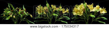 Time lapse series of yellow Alstroemeria flowers blooming.