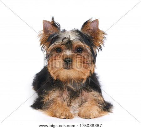 One puppy of the Yorkshire Terrier lies on white isolated background