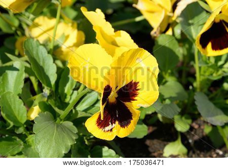 Pansies flower close up at sunny day.